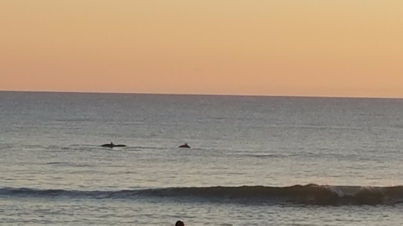 dolphins Outer Banks