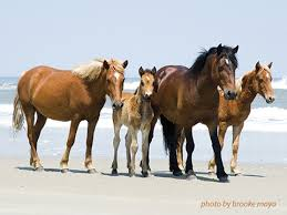 Seeing the Wild Horses on The OBX